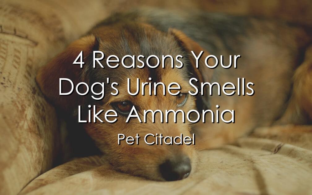 Why Your Dog's Urine Smells Like Ammonia - Image 1