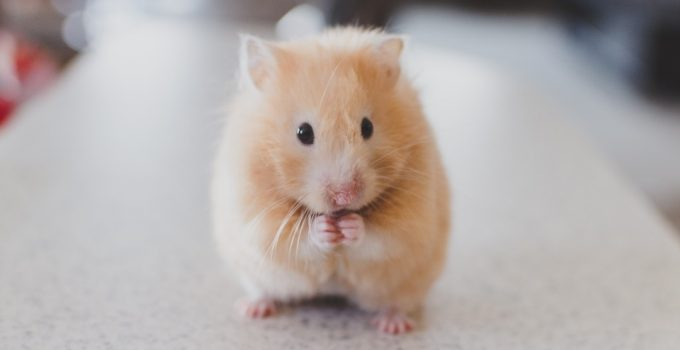 How Long Do Hamsters Live? - Featured