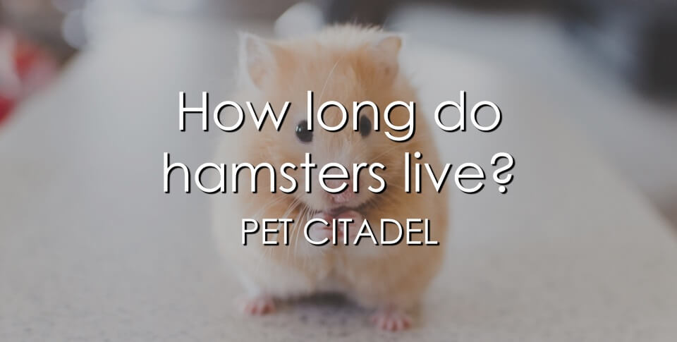 How Long Do Hamsters Live? - Banner Image