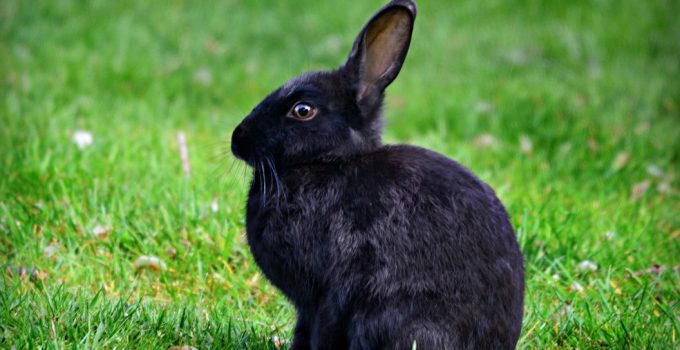 How Long Do Rabbits Live? - Featured