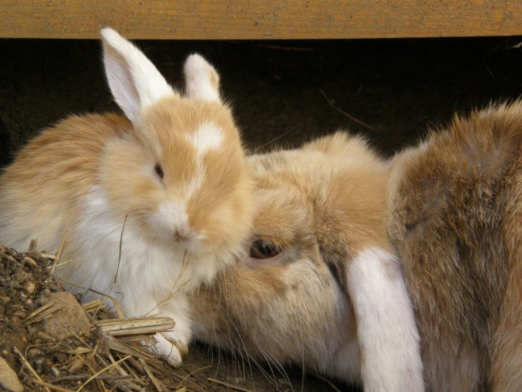 How Long Are Rabbits Pregnant? - Image 2