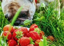 Can Dogs Eat Strawberries? - Image 1