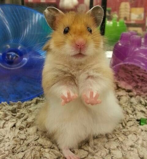 How Long Do Hamsters Live? - Syrian Hamster