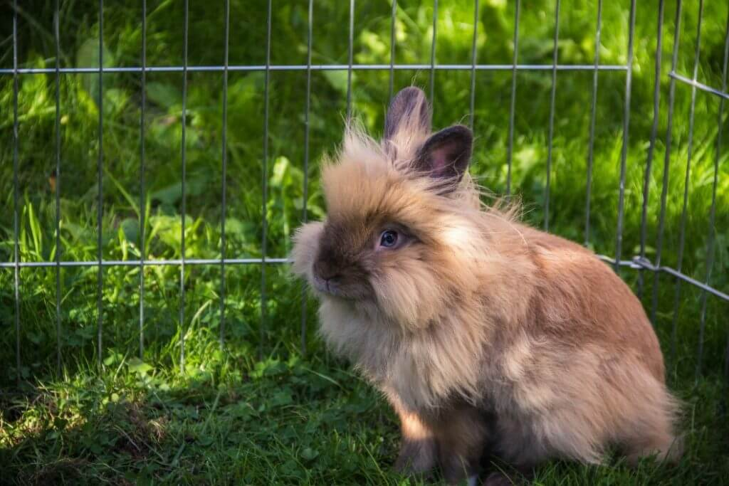 How Long Do Rabbits Live? - Lionhead