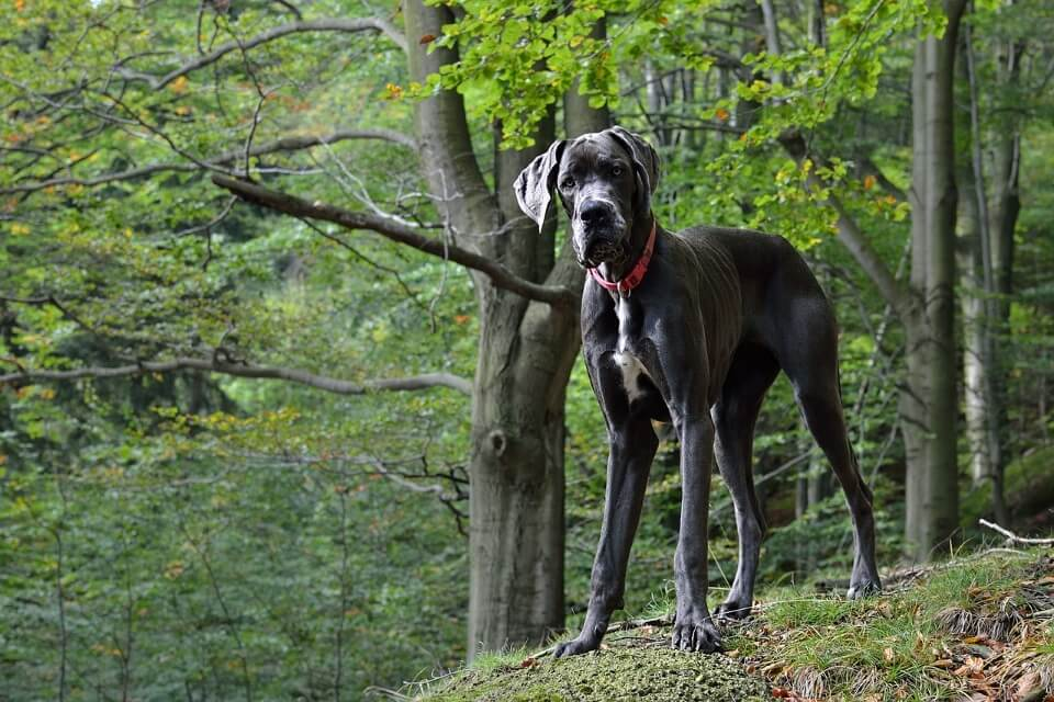 When Do Dogs Stop Growing? - Great Dane