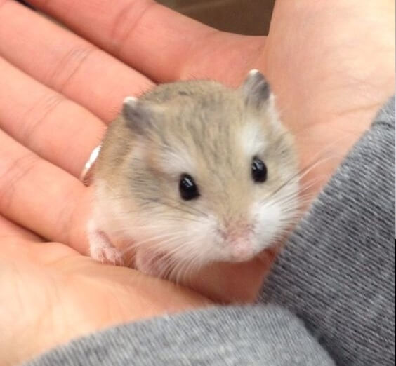 How Long Do Hamsters Live? - Roborovski Hamster