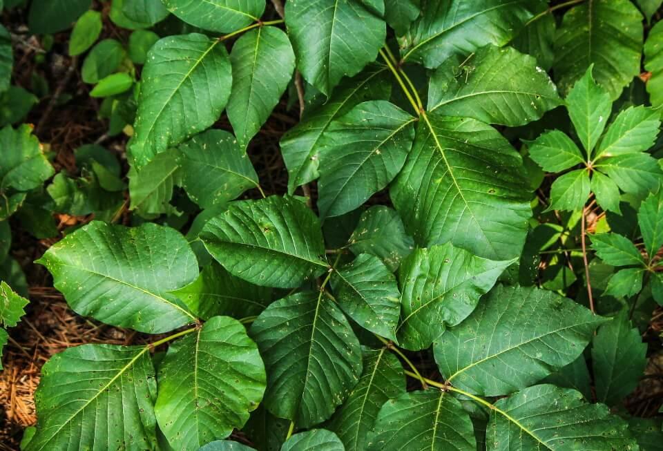 Rash On Dog's Belly - Poison Ivy