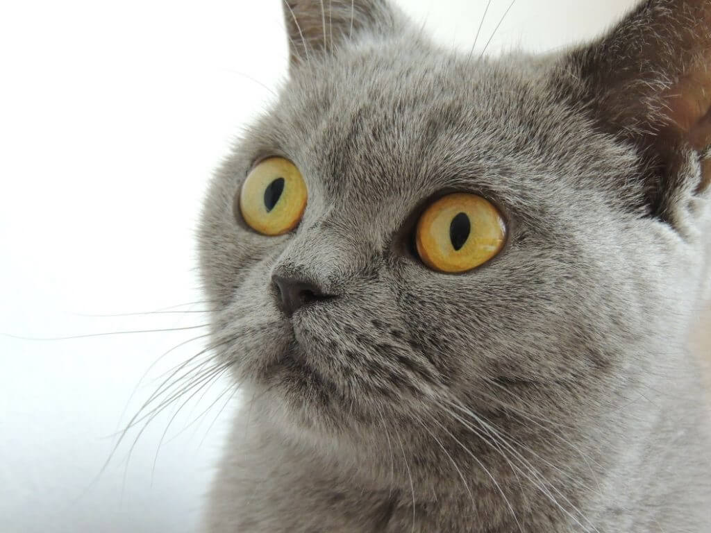 When Do Cats Stop Growing? - British Shorthair