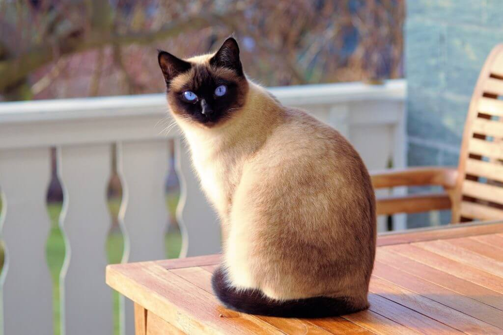 When Do Cats Stop Growing? - Siamese Cat