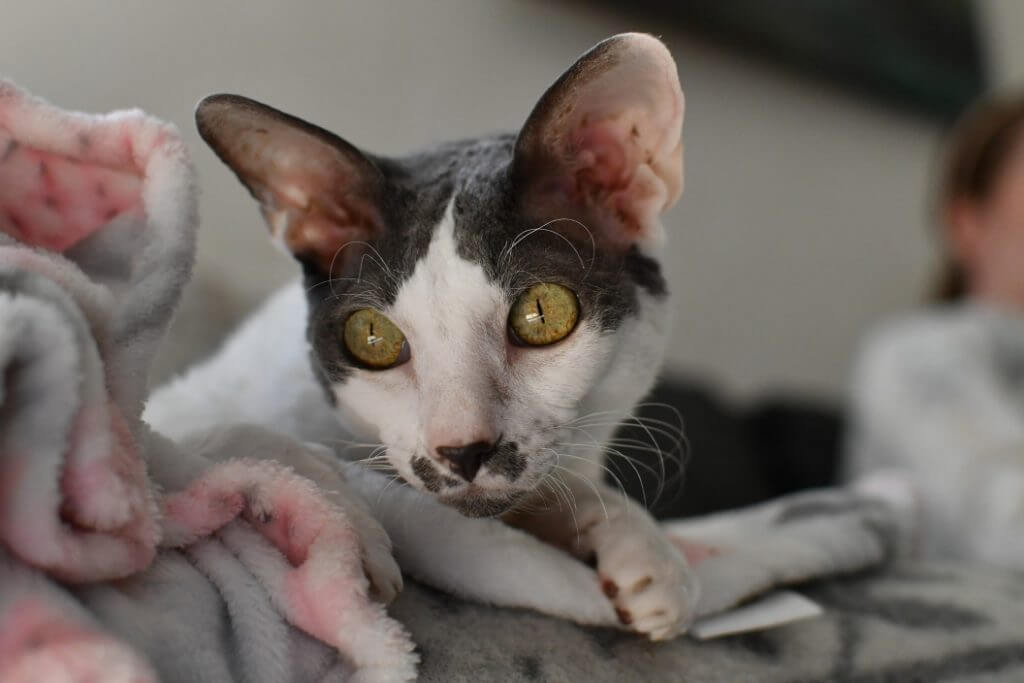 Cat Breeds That Don't Shed - Cornish Rex