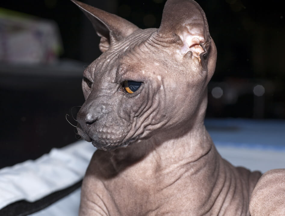 Cat Breeds That Don't Shed - Donskoy