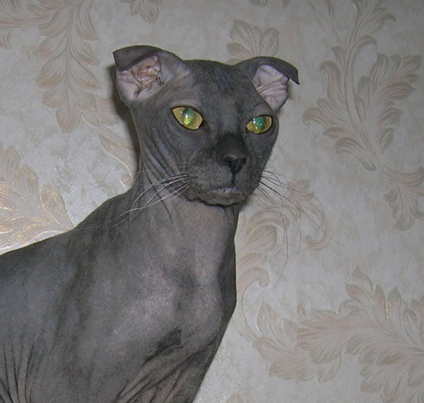 Cat Breeds That Don't Shed - Ukrainian Levkoy