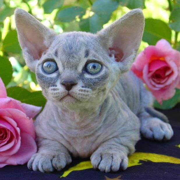 Cat Breeds That Don't Shed - Minskin