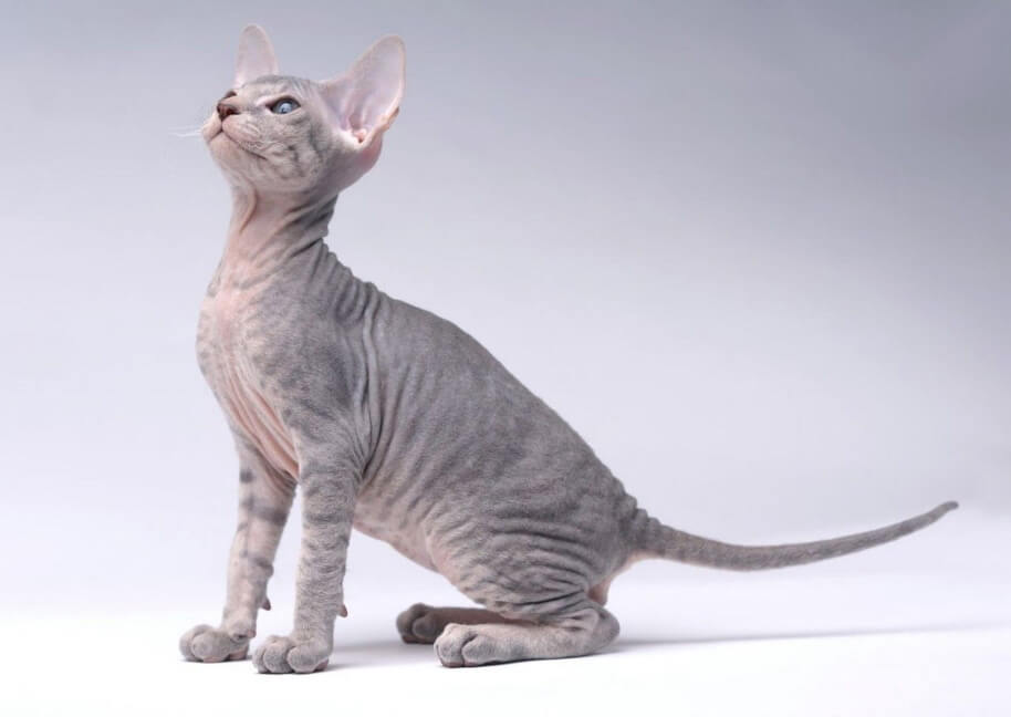 Cat Breeds That Don't Shed - Peterbald