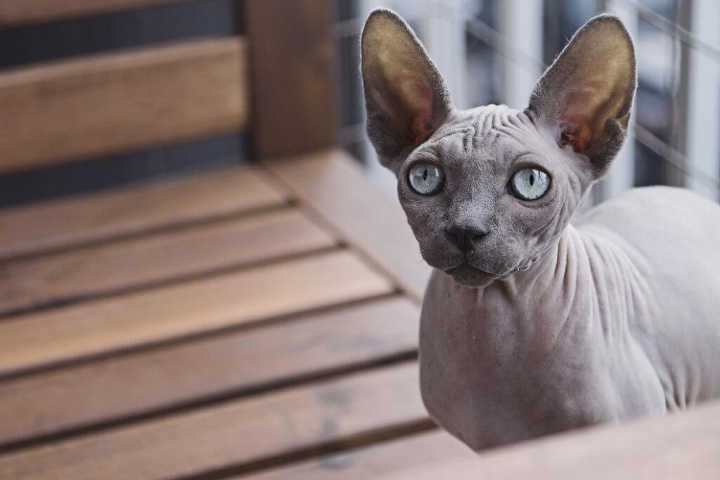 Cat Breeds That Don't Shed - Sphynx