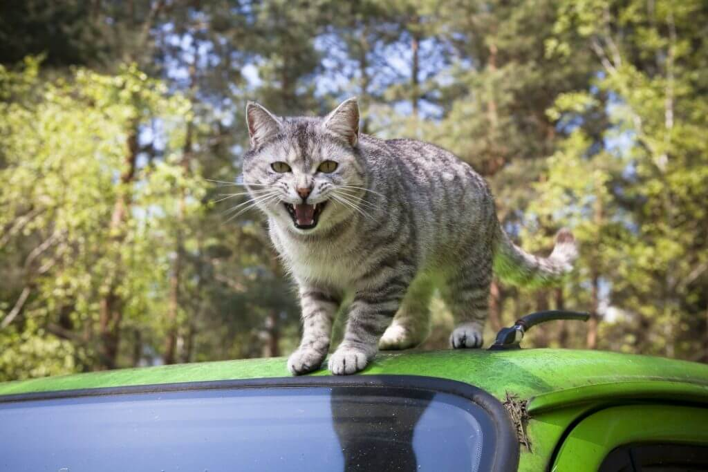 Cat with mouth open on top of a vehicle