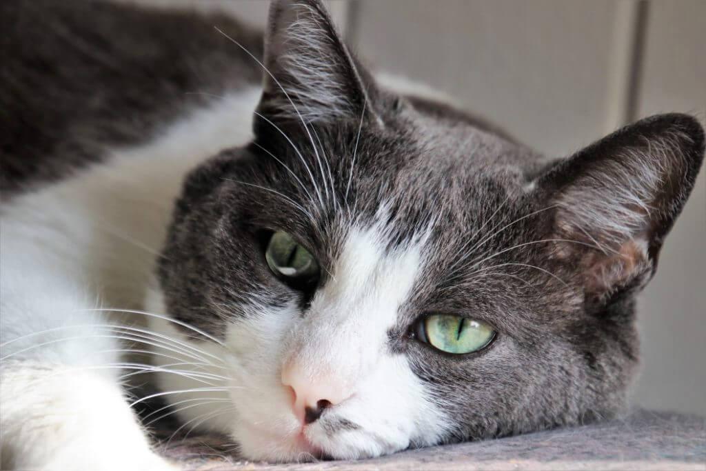 Tomcat resting head