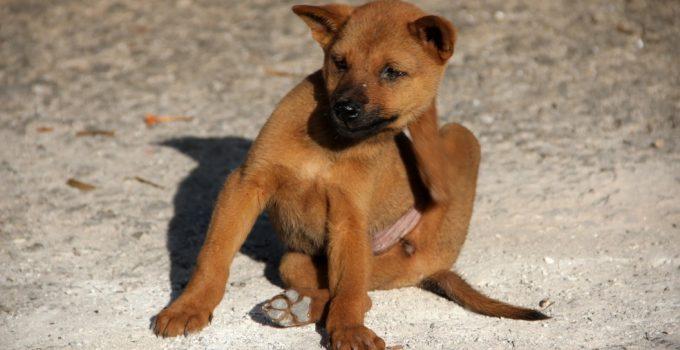 Brown dog scratching itself on dirt ground