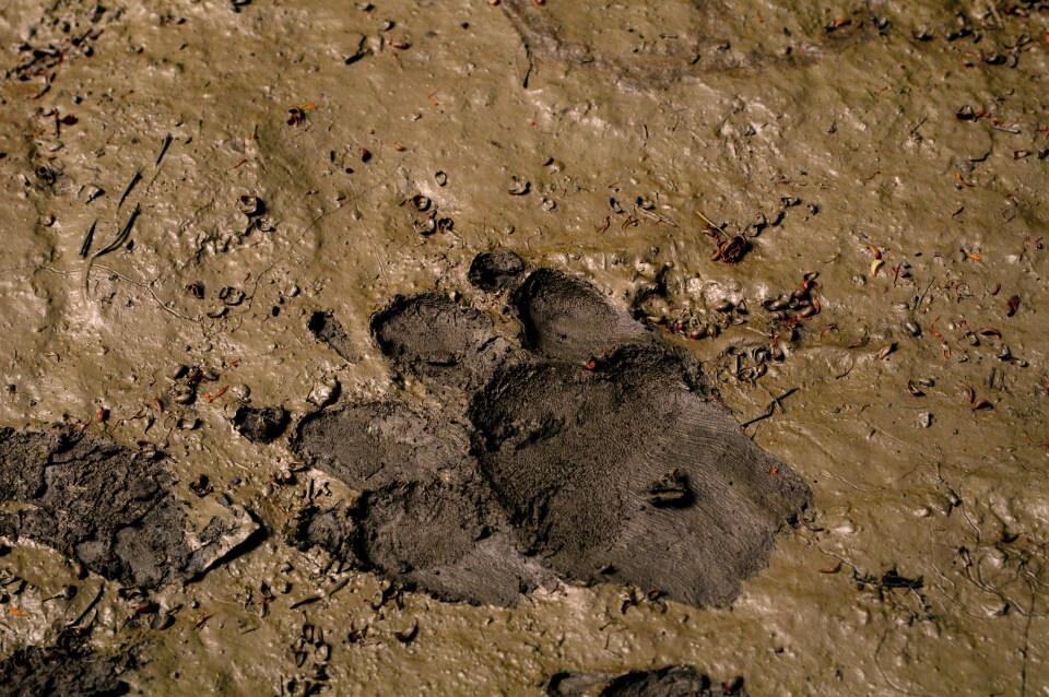 Dog pawprint in mud