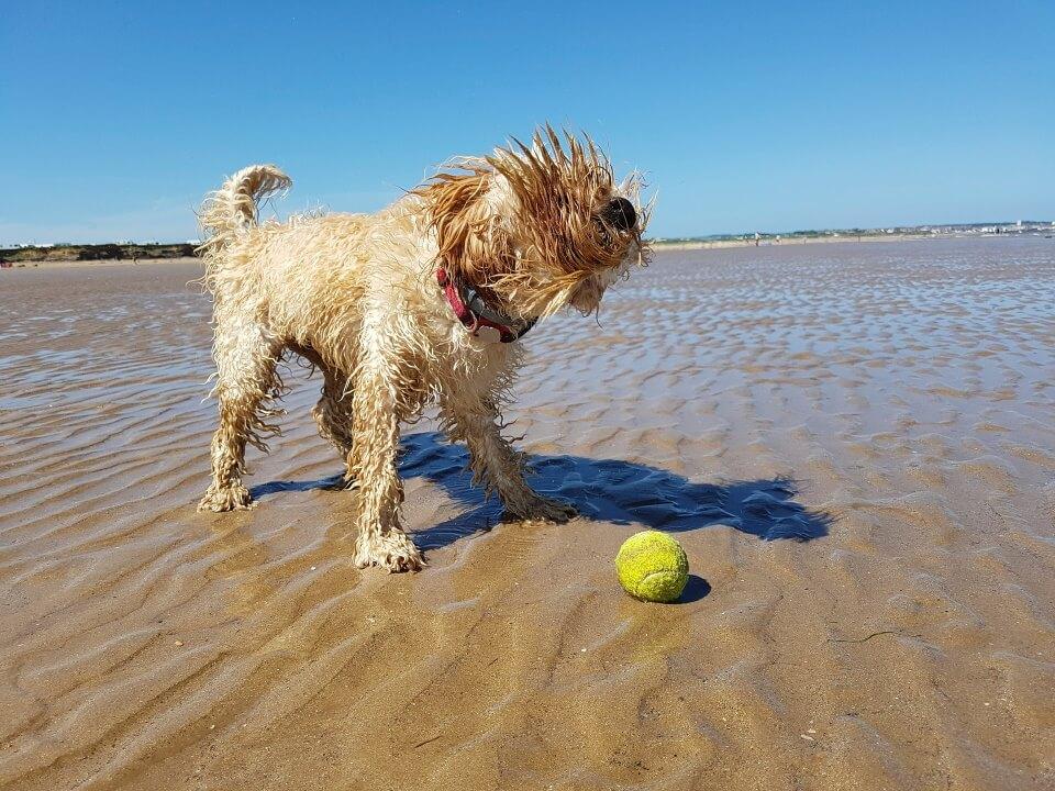 Cockapoo on sandy beach with tennis ball